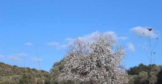 Aydın'da bahar geldi, ağaçlar çiçek açtı