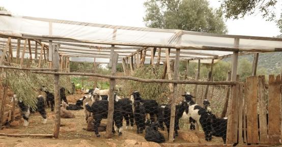 Bayat hamurun keçileri telef ettiği iddiası
