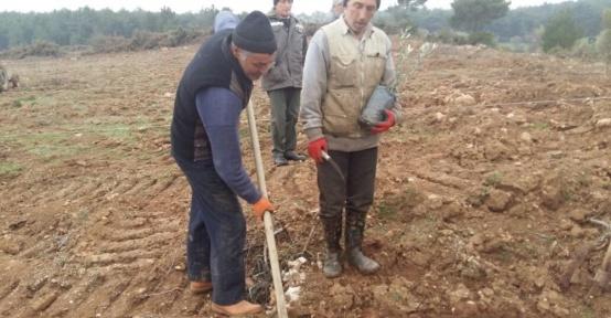 Orman işletme müdürlüğü köylüler için zeytin fidanı dikiyor