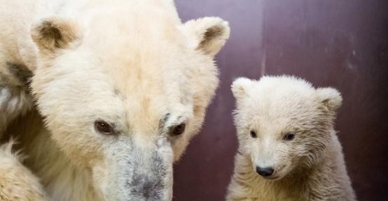 Uluslararası Kutup Ayısı Gününde, Berlin'de ziyaretçiler yavru kutup ayıyı görebilecek