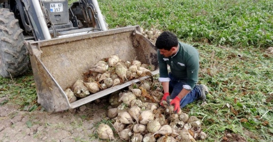 Aksaray'da pancar üreticilerine 41 milyon TL ödeme
