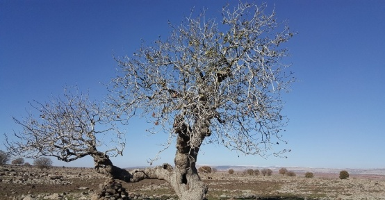 Gaziantep'in anıt ağaçları belirlendi