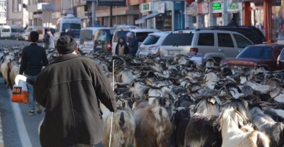 Keçi sürüsü ile şehir turu attı