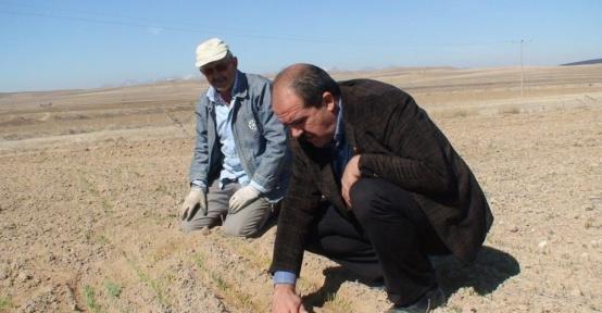 Konya Ovasında buğdaylar yeşermeye başladı