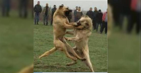 Köpek dövüştüren ve kulağını keserek eziyet eden şahsa 12 bin 613 TL ceza