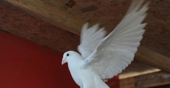 (ÖZEL HABER) Bursa'da kuş gribi iddiaları yalanlandı