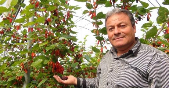 Silifke'de yılın ilk karadut hasadı başladı