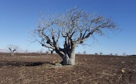 TEMA Vakfı Antep'te Anıt Ağaç Adaylarını Belirledi