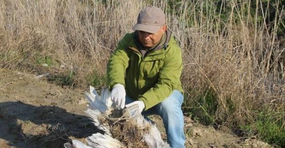 Yunanistan'ın seferber olduğu tepeli pelikan Söke Ovası'nda ölü bulundu