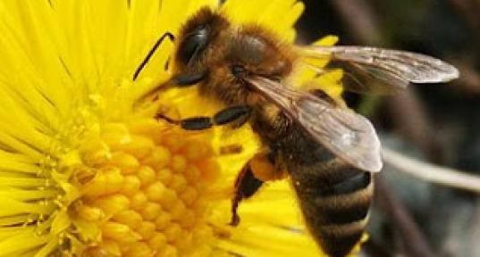2017 ana arı rengi
