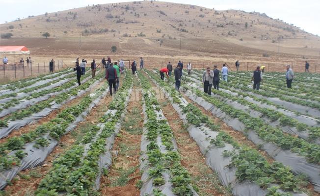 Göksu Taşeli Havzası Kalkınma Projesinden  Karamanda Çilek Üretimine Destek