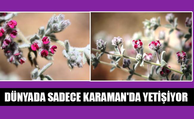 DÜNYADA SADECE KARAMAN'DA YETİŞİYOR