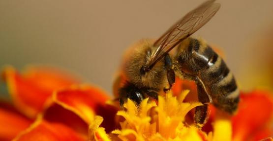 Ana arı üretimi ve kullanımı 2017