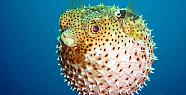 Balon Balığı Hakkında