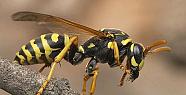 Eşek Arıları Nasıl Canlılardır?