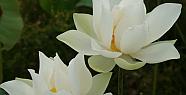 Lotus bitkisi ve inanılmaz özellikleri